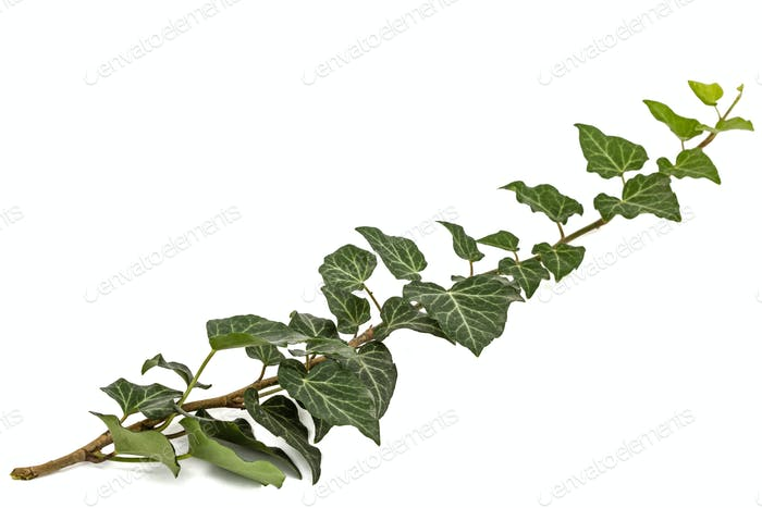 Green Ivy branch, isolated on white background