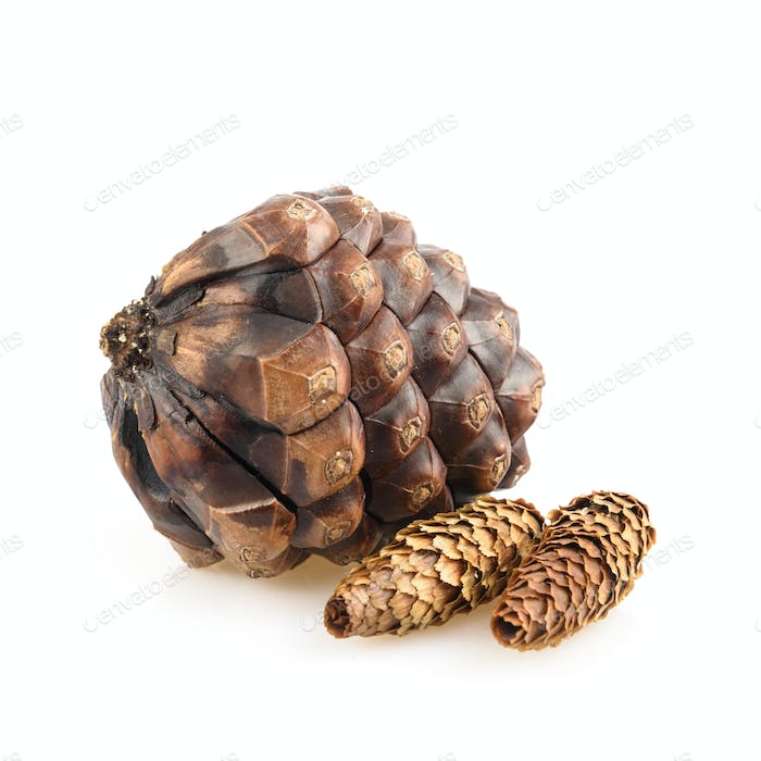 Pine cones isolated