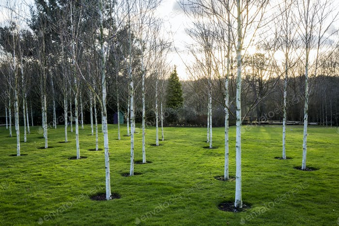 A garden in winter, white birch trees with pale trunks in grass.