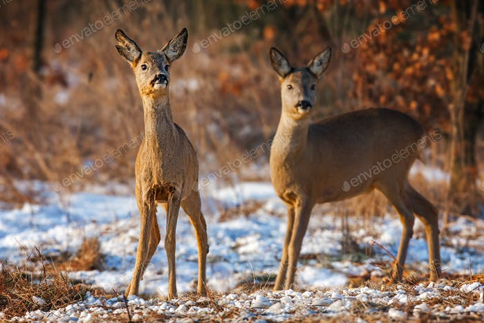 Two roe deer, capreolus capreolus, in winter time