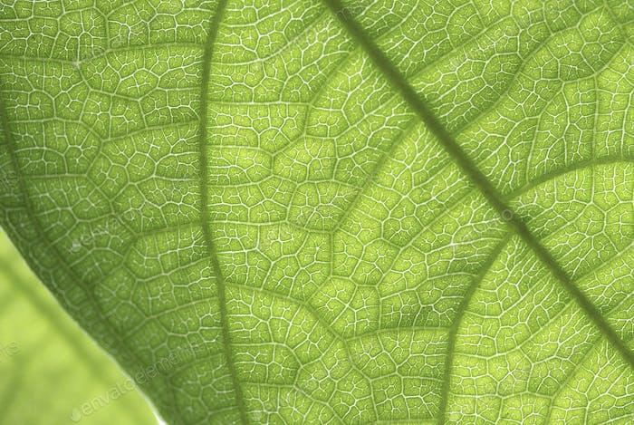 Blattzellenstruktur