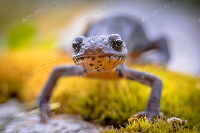 Alpine newt frontal on moss and rocks