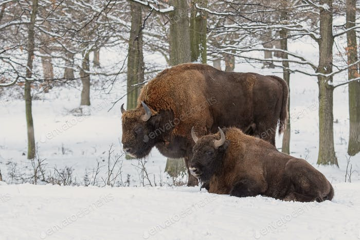 Pair of european bisonos, bison bonasus, in forest in winter