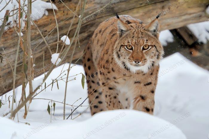 Thumbnail for Lynx