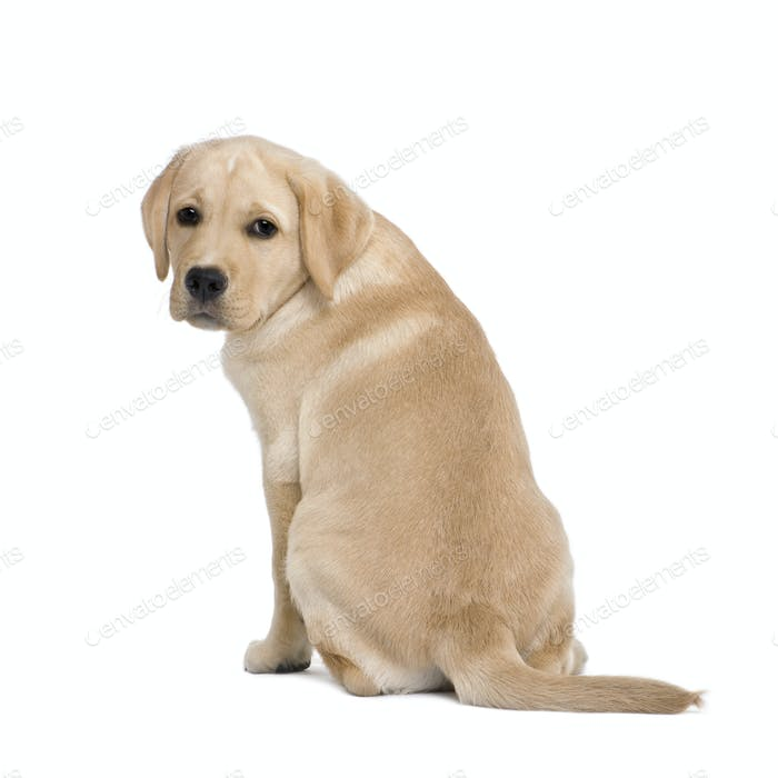 back view of a Cream Labrador puppy, 14 weeks old, sitting in front of white background, studio shot