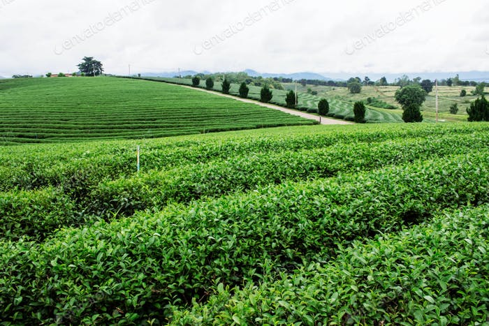 Tea plantation on hill
