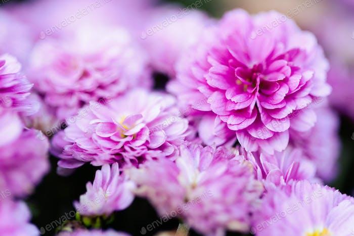 Pink chrysanthemum flowers macro image