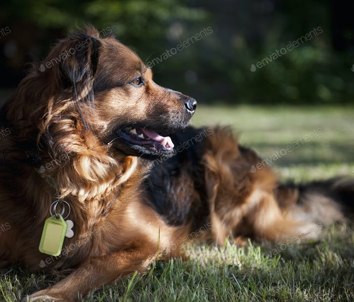 A large brown dog lying on the grass turning its head to look about. A collar and identity tags.