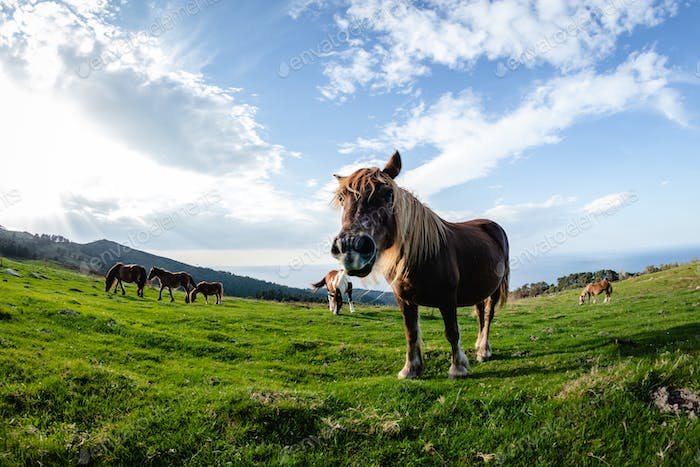 wild funny horses in the green mountain