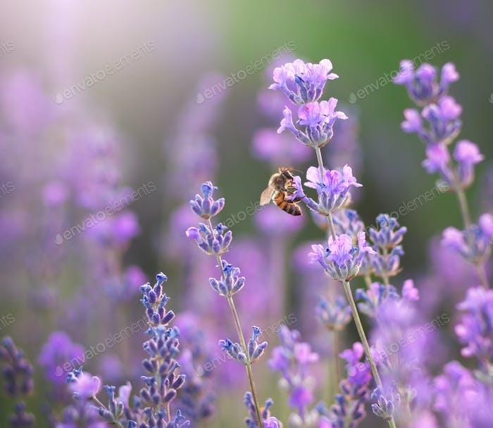 Biene und Lavendel Blume.