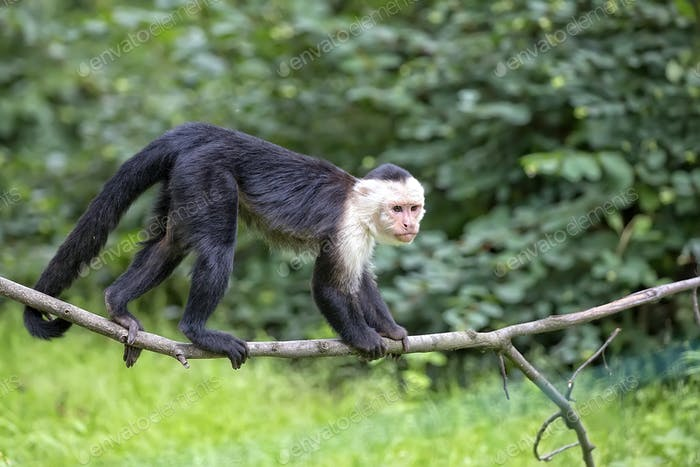 White-throated Capuchin in the wild