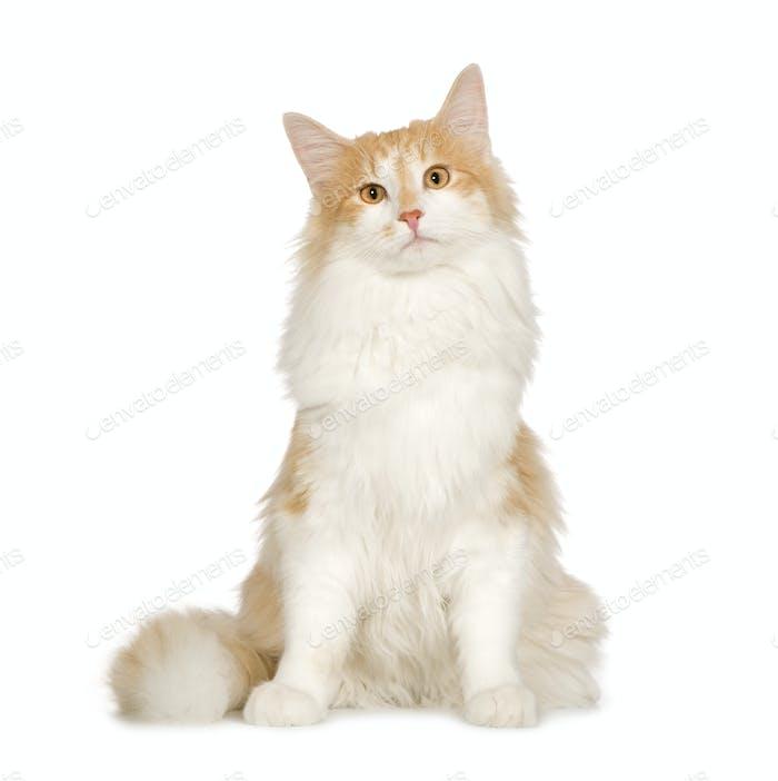 Norwegian Forest Cat (7 months)
