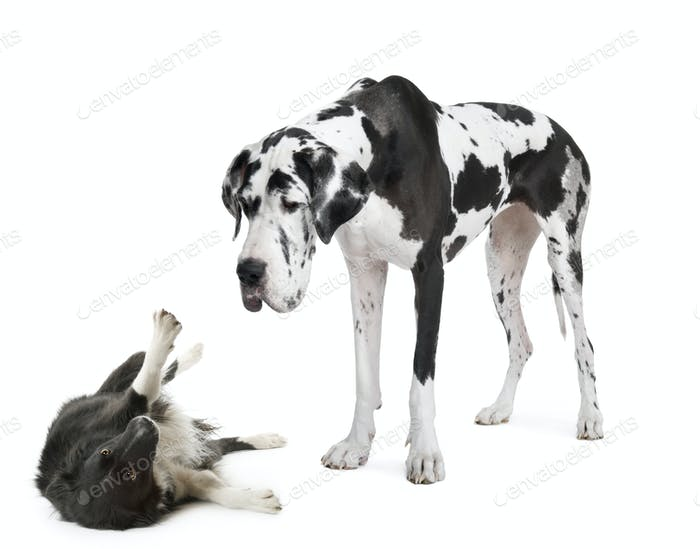 harlequin Great Dane (4 years)  looking down at a