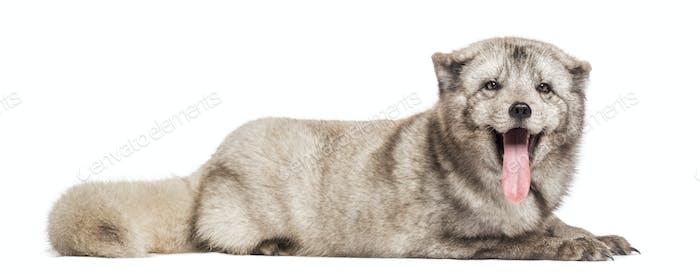 Arctic fox, Vulpes lagopus, polar fox or snow fox, lying, panting, isolated on white