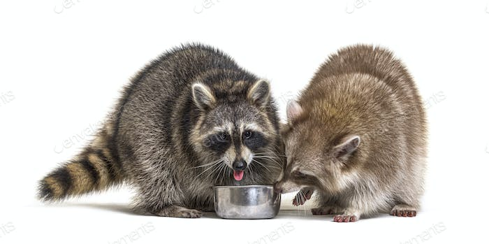 Two raccoons eating from a dog bowl