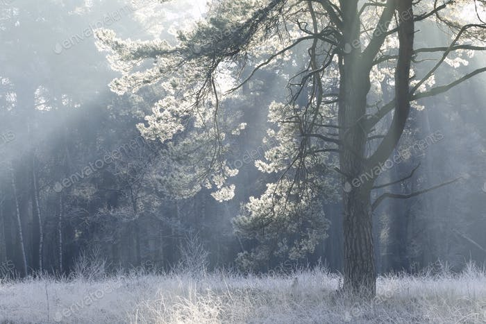 pine tree in frost and morning sunshine