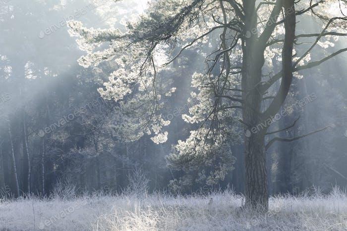 Kiefer in Frost und Morgensonne