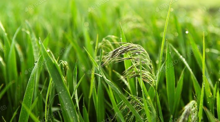 Drops of dew on lush, fresh green