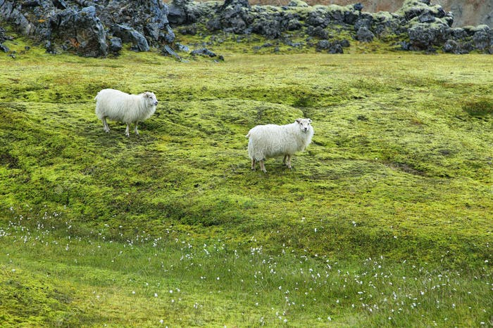 Cute sheeps in Landmannalaugar