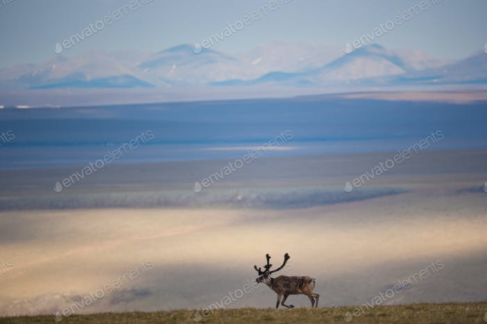 Caribou, Arktis National Wildlife Refuge, Alaska, USA