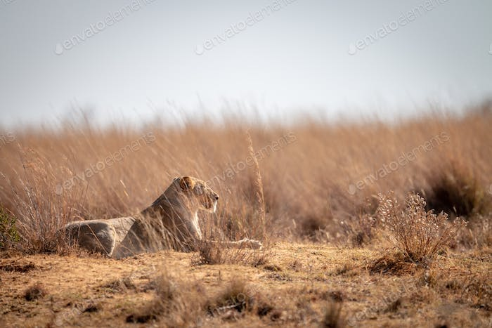 Lioness laying in the high grass.