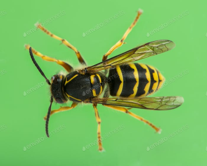 High view of a Wasp in front of a green background