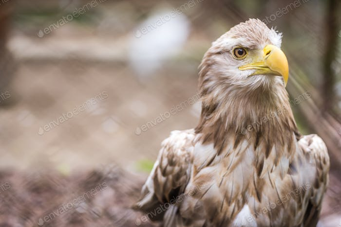 Mighty white tailed eagle in zoo cage
