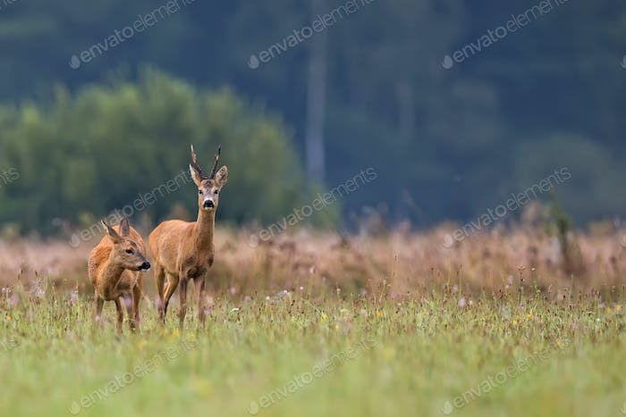 Buck deer with roe deer in a clearing