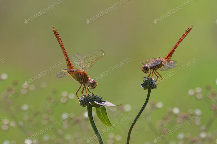 Dragonflies on a Flower