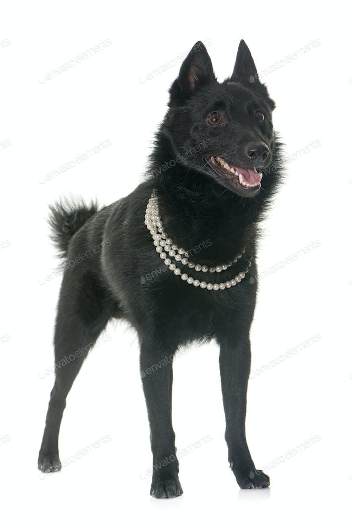 young Schipperke dog
