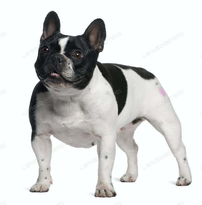 Französische Bulldogge mit Tattoo steht vor weißem Hintergrund