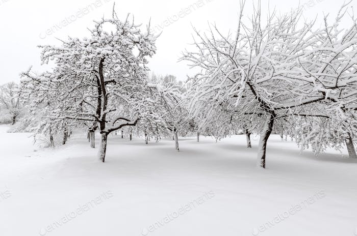 Apple trees after winter snow storm