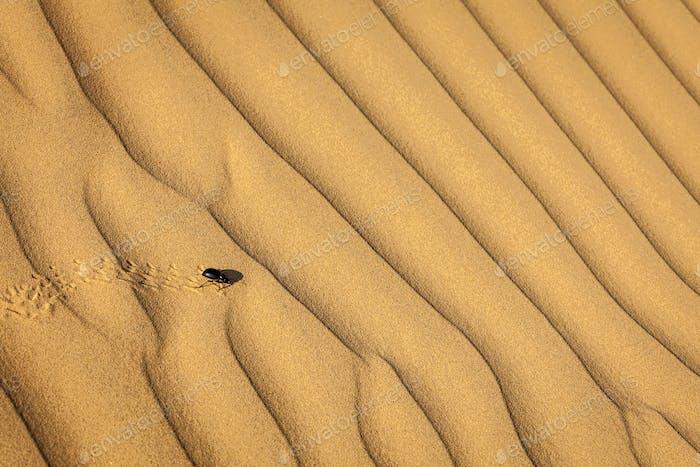 Scarab (Scarabaeus) beetle on desert sand