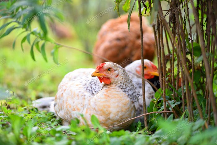 Hens sitting on the green grass. Free range chicken on a farm ya