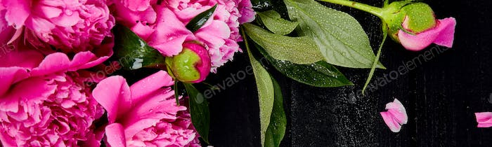 Banner of Beautiful pink peony flowers on black background.