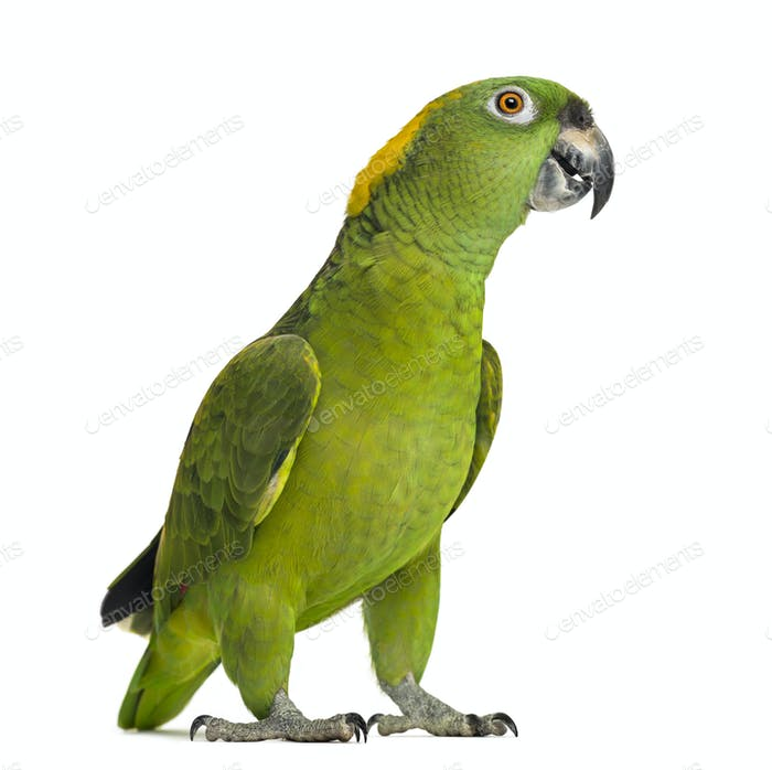 Yellow-naped parrot looking at the camera (6 years old), isolated on white