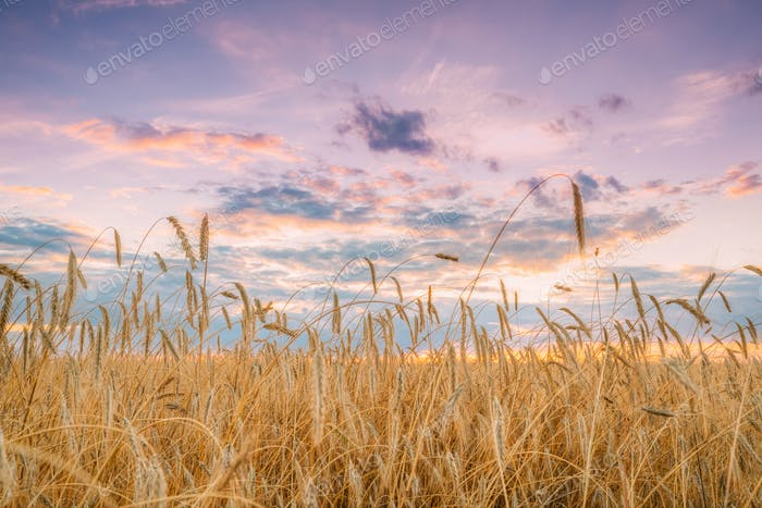 Summer Agricultural Landscape Of Young Yellow Wheat Field. Wheat