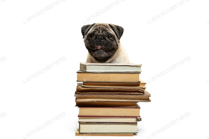 smart intelligent pug puppy dog sitting down between piles of books, on white background