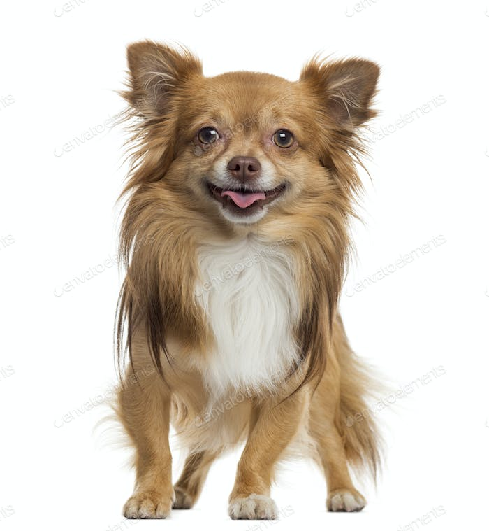 Chihuahua panting, standing, isolated on white