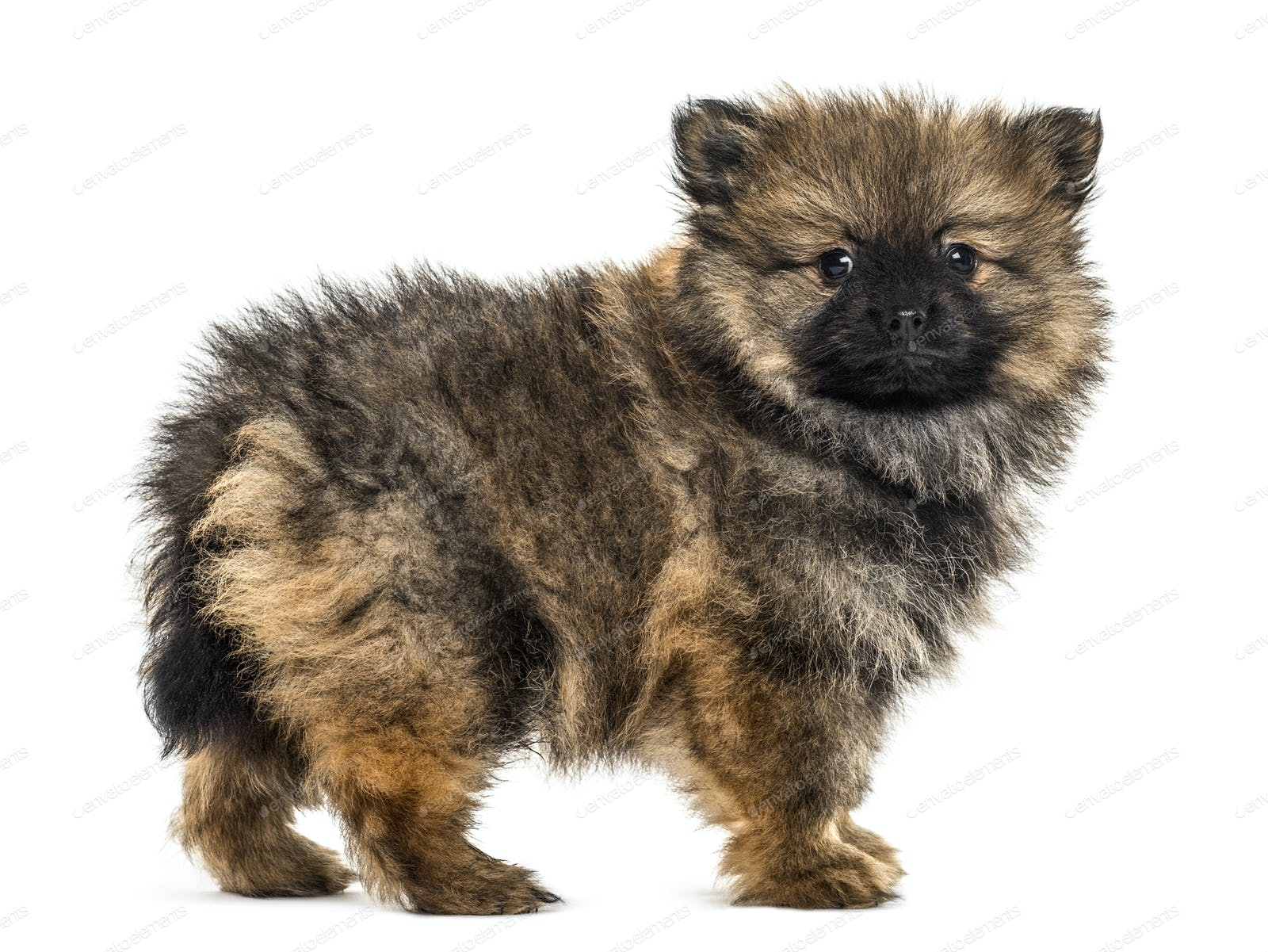 German Spitz Puppy Standing Isolated
