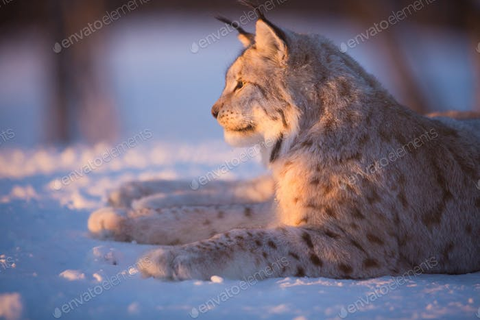 Lynx rests in the sunset