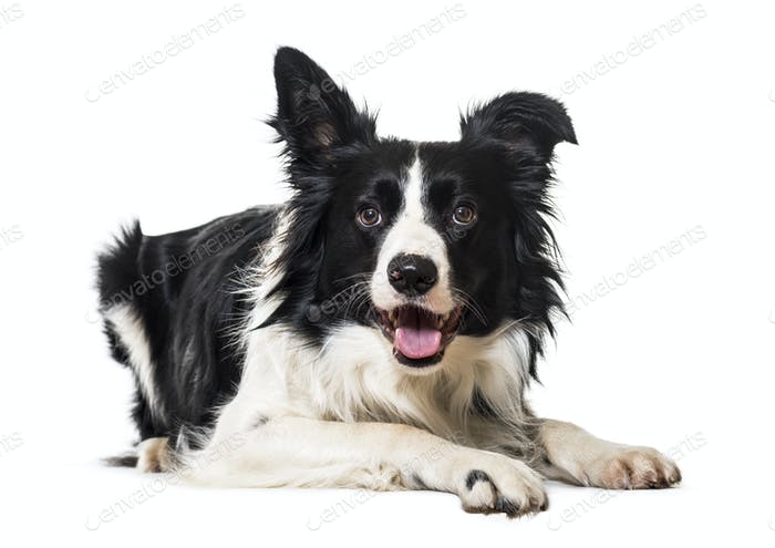 Black and white Border collie Dog lying down in front of the camera, cut out