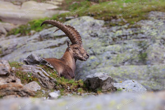 Ibex, Range of Mont Blanc, France