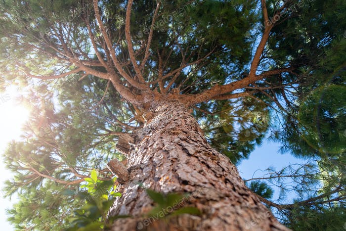 Tall pine tree with rough bark from below to upwards. Blue sky background.