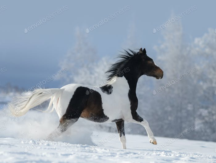 Paint horse galloping across winter snowy meadow.