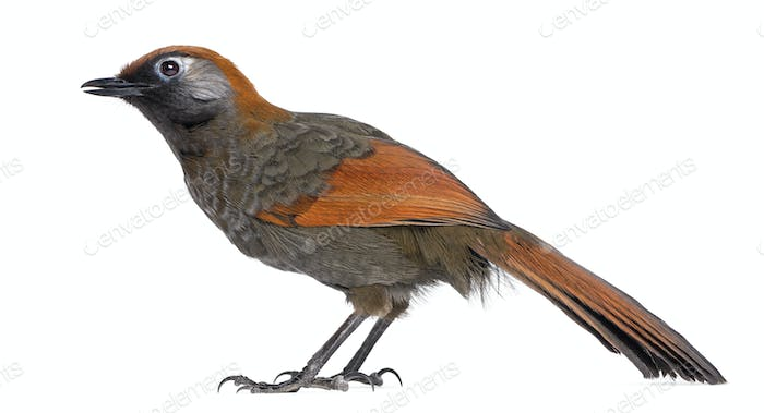 Red-tailed Laughingthrush - Garrulax milnei, isolated on white