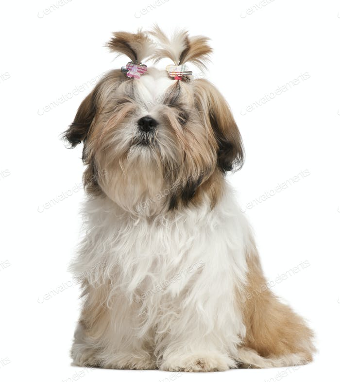 Shih Tzu puppy, 5 months old, sitting in front of white background