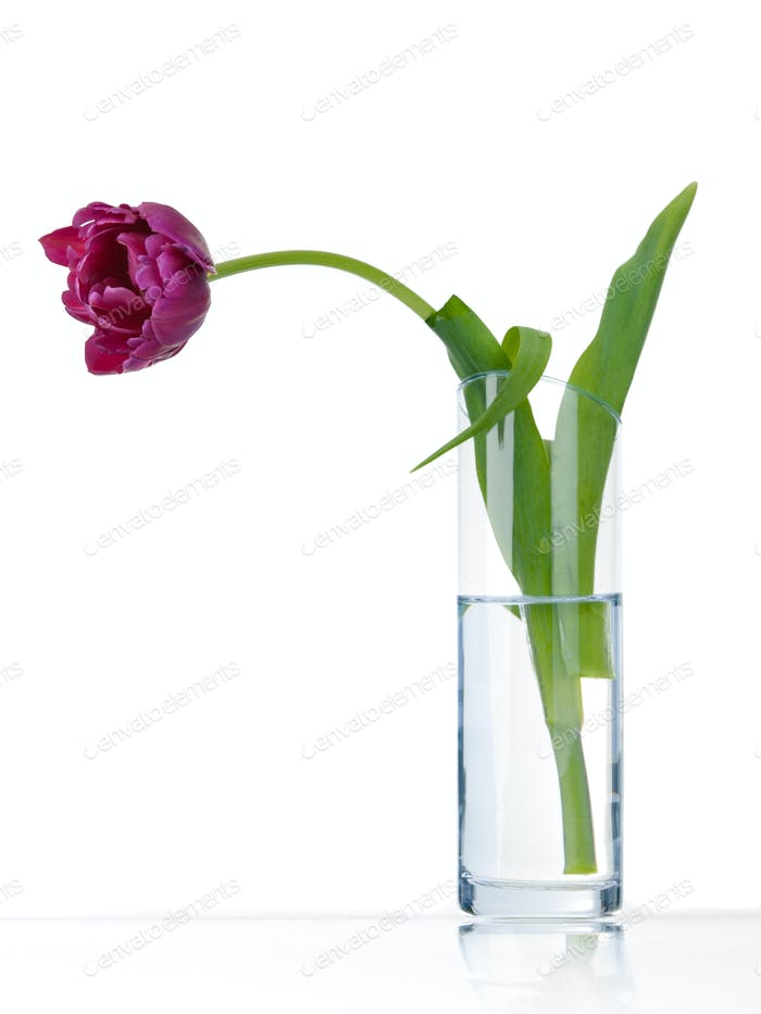 Purple tulip alone in vase