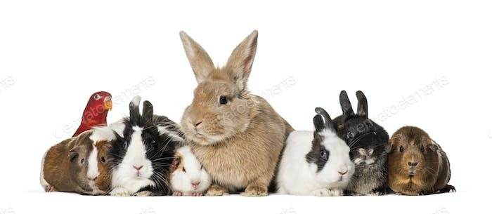 Rabbits, Guinea Pigs and chattering lory parrot sitting against white background