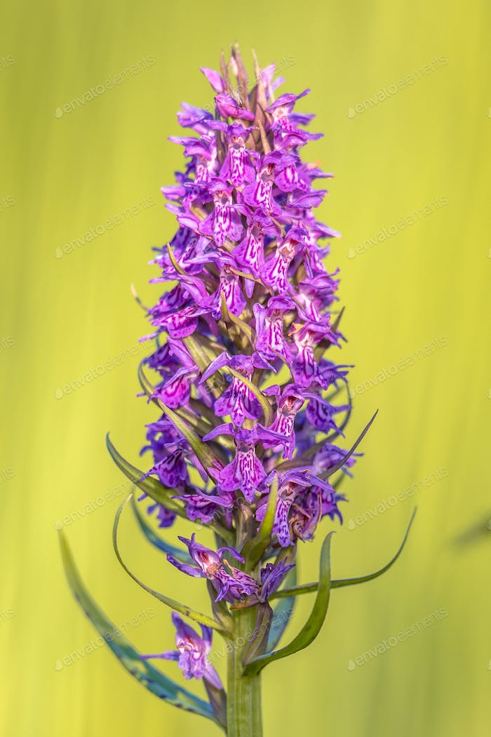Bright colored Purple orchid flower